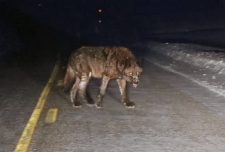 A wild animal walking on a road