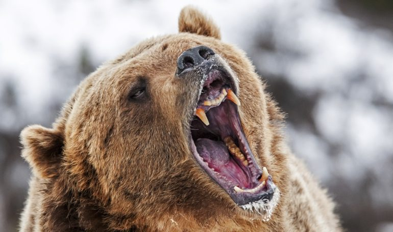 A bear with its mouth open