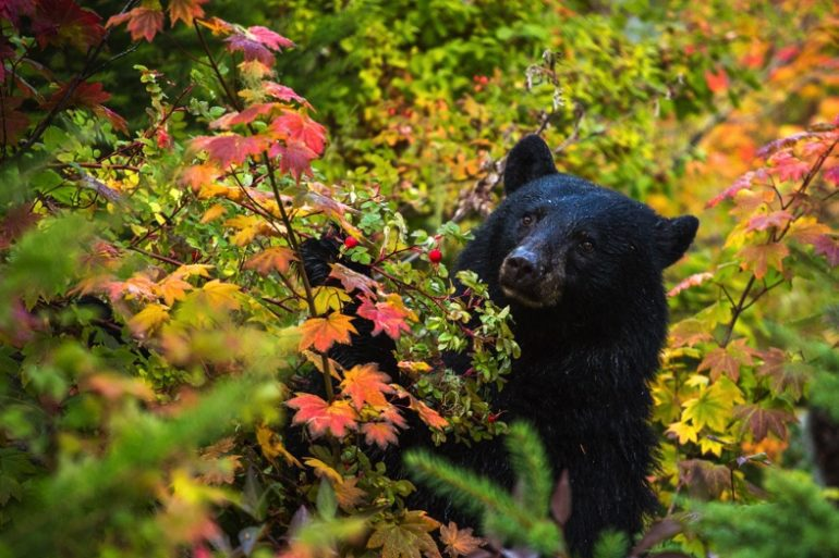 A black bear in a forest